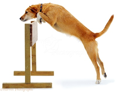 Lakeland Terrier x Border Collie, Tilly, jumping