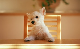 Westie-at-the-table