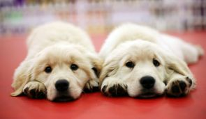 Identical-Twin-dogs-born-a-first